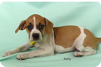 Boston Terrier/Chihuahua Mix Puppy for adoption in Kerrville, Texas - Ruby