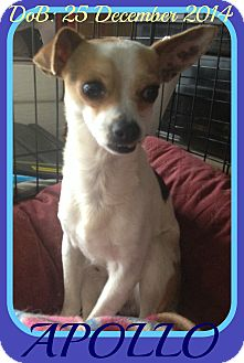 Chihuahua Dog for adoption in Jersey City, New Jersey - APOLLO