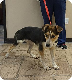 Australian Cattle Dog/Australian Shepherd Mix Dog for adoption in Oviedo, Florida - Crystal