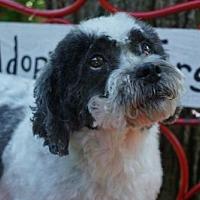 Adopt A Pet :: Benji - Sioux Falls, SD