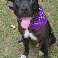 Adopt A Pet :: Sox - Helena, AL