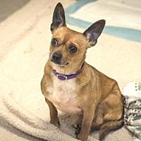 Adopt A Pet :: Hercules - 26278 - Petaluma, CA