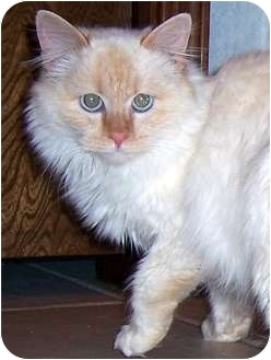 Himalayan Cat for adoption in Oklahoma City, Oklahoma - Camille