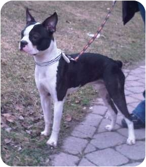Boston Terrier Dog for adoption in Rigaud, Quebec - Rocky