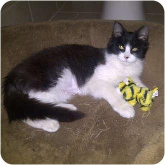 Domestic Mediumhair Kitten for adoption in Toronto, Ontario - Lilly