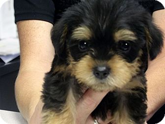 Shih Tzu/Yorkie, Yorkshire Terrier Mix Puppy for adoption in Kokomo, Indiana - DiXiE