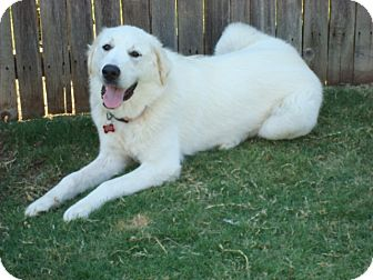 Great Pyrenees Dog for adoption in Oklahoma City, Oklahoma - Great Pyrenees
