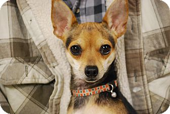Chihuahua Dog for adoption in Waterbury, Connecticut - Beth