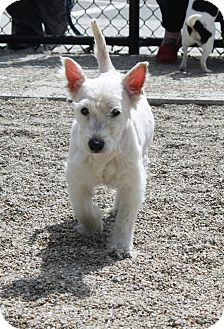Westie, West Highland White Terrier Mix Dog for adoption in Worcester, Massachusetts - Bella