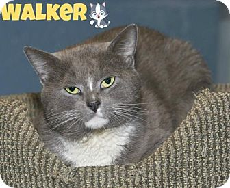Domestic Shorthair Cat for adoption in River Edge, New Jersey - Walker