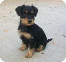 Dachshund/Terrier (Unknown Type, Small) Mix Puppy for adoption in Tustin, California - Jasmine