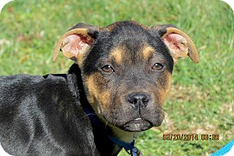 Labrador Retriever Mix Puppy for adoption in Salem, New Hampshire - PUPPY AARON