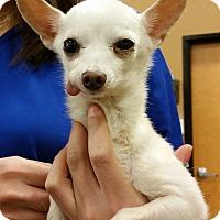 Adopt A Pet :: Mr Jones  3 lb senior! - Phoenix, AZ
