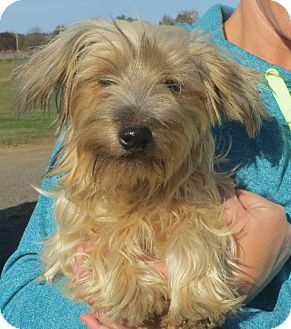 Yorkie, Yorkshire Terrier Puppy for adoption in Greenville, Rhode Island - Arlo