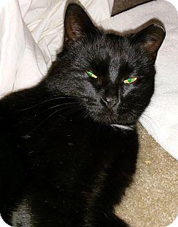 Domestic Shorthair Cat for adoption in N. Billerica, Massachusetts - Kira