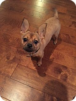 Chihuahua/Terrier (Unknown Type, Medium) Mix Dog for adoption in Tampa, Florida - WESLEY (GS)