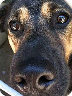 German Shepherd Dog Mix Dog for adoption in Littleton, Colorado - REGINA
