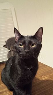 Domestic Shorthair Cat for adoption in Clarkson, Kentucky - Elisabeth