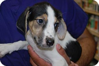 Hound (Unknown Type) Mix Puppy for adoption in Brooklyn, New York - Sonia