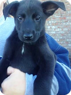 Labrador Retriever/Blue Heeler Mix Puppy for adoption in Snohomish, Washington - Bishop, awesome baby boy!