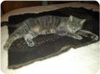Domestic Mediumhair Cat for adoption in Livonia, Michigan - Minnie