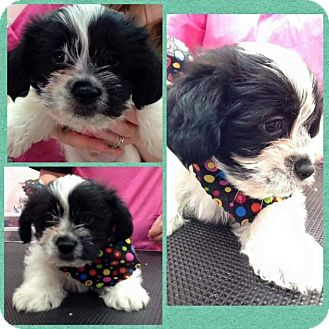 Shih Tzu Mix Puppy for adoption in Grand Rapids, Michigan - Piglet