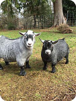 Goat for adoption in Maple Valley, Washington - Dixie & Atlas