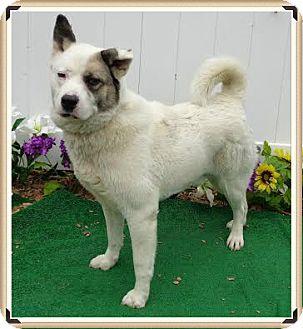 Akita Mix Dog for adoption in Marietta, Georgia - OREO