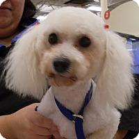 Adopt A Pet :: Gaviota (Gigi) - Orlando, FL