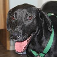 Labrador Retriever Mix Puppy for adoption in San Diego, California - Prince