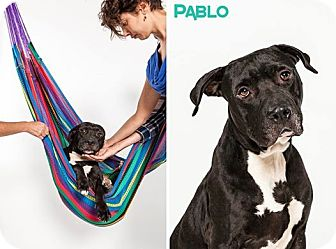 Pit Bull Terrier Mix Dog for adoption in Houston, Texas - Pablo