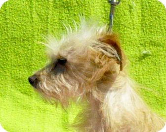 Terrier (Unknown Type, Medium) Mix Dog for adoption in Yreka, California - Fozberie