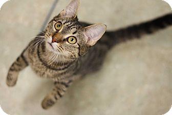 Domestic Shorthair Kitten for adoption in Astoria, New York - Lady Catelyn