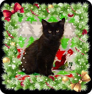 Domestic Mediumhair Kitten for adoption in Richmond, Virginia - Pepper