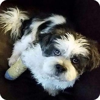 Lhasa Apso Mix Dog for adoption in Los Angeles, California - GIDEON