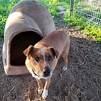 Adopt A Pet :: Juju - Red Bluff, CA