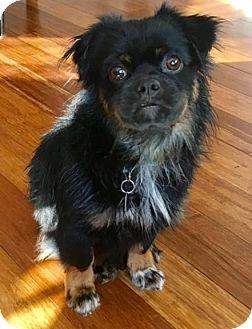 Pekingese Mix Dog for adoption in Atlanta, Georgia - Petey