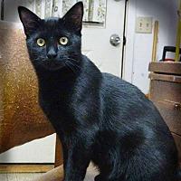 Domestic Shorthair Cat for adoption in Arlington/Ft Worth, Texas - Leto