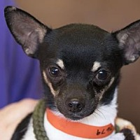 Adopt A Pet :: Bond - Colorado Springs, CO