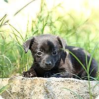 Adopt A Pet :: Jack - Auburn, CA
