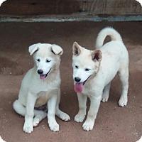 Adopt A Pet :: Mom and 3 puppies - Oakton, VA