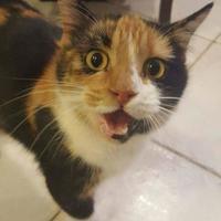 Adopt A Pet :: Shirley Jean - McDonough, GA