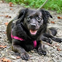 Adopt A Pet :: Bree - Asheville, NC