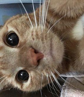 Domestic Shorthair Cat for adoption in Furlong, Pennsylvania - Ginger-Urgent