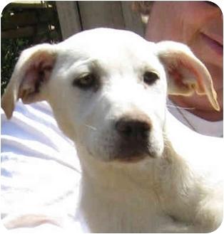 Labrador Retriever/German Shepherd Dog Mix Puppy for adoption in Poway, California - Miss Dixie