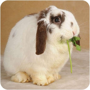 Lop, English Mix for adoption in Chicago, Illinois - Manfred