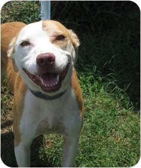 Pit Bull Terrier Mix Dog for adoption in Haughton, Louisiana - Sabine kill shelter (Libby)