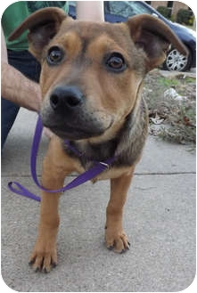 German Shepherd Dog/Terrier (Unknown Type, Medium) Mix Puppy for adoption in Dallas, Texas - Missy