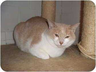 Domestic Shorthair Cat for adoption in Edwardsville, Illinois - Judy