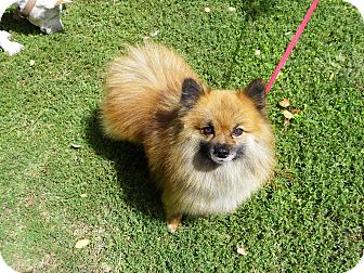 Pomeranian Dog for adoption in Hesperus, Colorado - KENYON